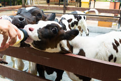 Cute Little Black and White Cow or Calf Eating or Drinking Milk. From Bottle in Nursery Cowshed or Livestock Farm in Thailand as Agricultural farming Concept Stock Photo