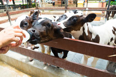 Cute Little Black and White Cow or Calf Eating or Drinking Milk. From Bottle in Nursery Cowshed or Livestock Farm in Thailand as Agricultural farming Concept Royalty Free Stock Photo