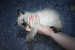 Little black and white kitten with blue eyes Stock Photos
