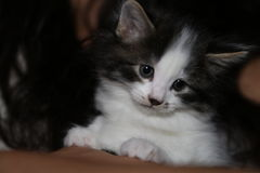 Cute little black and white kitten Royalty Free Stock Photo