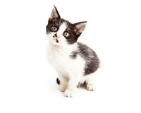 Cute Little Black and White Kitten Sitting Stock Images