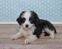 Cute Little Black and White Puppy Royalty Free Stock Image