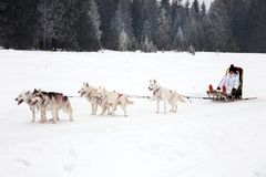Cute little blonde girl playing in the snow with a dog Husky. Li. Ttle girl in a sled Husky  dog Stock Photography