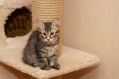 Cute little bobtail kitten royalty free stock images