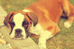 Cute little boxer looking at the camera. Sunny day Stock Photo
