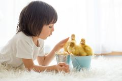 Cute little boy with ducklings springtime, playing together stock photos