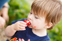 Boy eating a strawberry Stock Photography