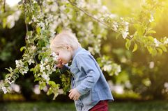 Cute little boy enjoy blooming tree with white flowers in the domestic garden in warm day. Seasonal kid allergy/atopy Royalty Free Stock Images