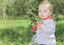 Cute little boy in the garden and picking apple Royalty Free Stock Photography