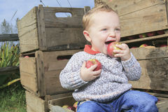 Cute little boy in the garden and picking apple Royalty Free Stock Photo