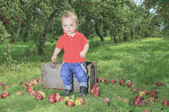 Cute little boy in the garden and picking apple Stock Image