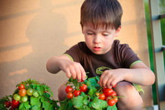 Cute little boy gather homegrown cherry tomatoes Royalty Free Stock Photo
