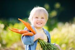 Cute little boy holding a bunch of fresh organic carrots in domestic garden Stock Photos