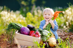 Cute little boy holding a bunch of fresh organic carrots in domestic garden Royalty Free Stock Photos