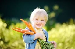 Cute little boy holding a bunch of fresh organic carrots in dome stock photos