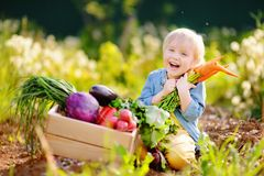 Cute little boy holding a bunch of fresh organic carrots in domestic garden. Healthy family lifestyle. Harvest time Royalty Free Stock Images