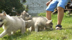 A cute little boy holds a husky puppies and then they run away on a grass stock footage
