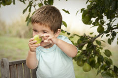Cute little boy picking fruit from tree Stock Photography