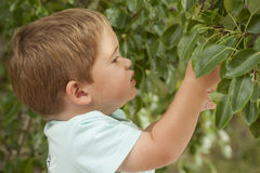 Cute little boy picking fruit from tree Royalty Free Stock Image
