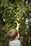Cute little boy picking fruit from tree Royalty Free Stock Images