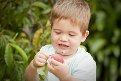 Cute little boy picking fruit from tree Royalty Free Stock Photos