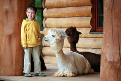 Cute little boy playing with a baby alpaca Stock Photos