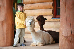 Cute little boy playing with a baby alpaca Royalty Free Stock Photos