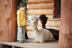 Cute little boy playing with a baby alpaca royalty free stock images