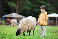 Cute little boy and a sheep royalty free stock photo