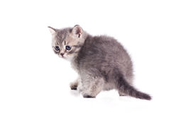 Cute little british kitten Royalty Free Stock Images