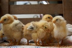 Cute little broiler chickens  eats grain, close-up stock photography