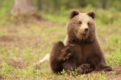 Cute little brown bear cub Stock Images