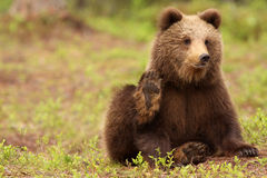 Cute little brown bear looking and waving at you Stock Photography