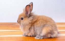 Cute little brown bunny or rabbit stay on wood table with white background royalty free stock photos