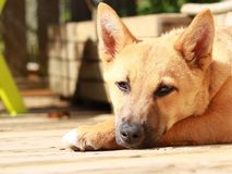 Cute puppy lying on a wooden floor outside royalty free stock image