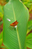Cute Little Brown Moth on bird of paradise Leave Royalty Free Stock Photo