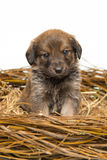 Cute little brown puppy in straw nest Stock Photos