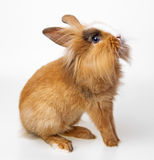 Cute little brown rabbit Stock Image