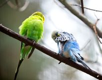 Cute Little Budgie Bird Stock Photos