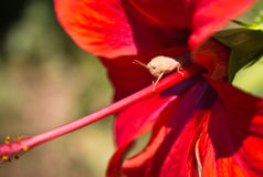 Cute little bug macro close up on red hibiscus flower Royalty Free Stock Photography
