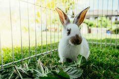 Cute little bunny is eating salad, outdoor compound, green grass. Cute little bunny eats salad in an outdoor compound. Green grass, spring time rabbit enclosure stock photos