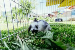 Cute little bunny is eating salad, outdoor compound, green grass. Cute little bunny eats salad in an outdoor compound. Green grass, spring time rabbit enclosure stock image