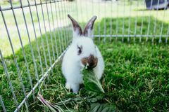 Cute little bunny is eating salad, outdoor compound, green grass. Cute little bunny eats salad in an outdoor compound. Green grass, spring time rabbit enclosure stock images