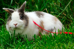 Cute little bunny on leash Stock Photos