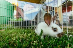 Cute little bunny in an outdoor compound, green grass. Little bunny is sitting in an outdoor compound. Green grass, spring time rabbit cute enclosure easter royalty free stock image