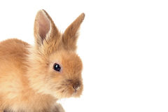 Cute little bunny rabbit isolated on a white background Royalty Free Stock Photo