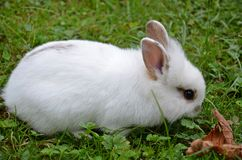 Cute little bunny. Cute little white bunny on a meadow eatig the grass Royalty Free Stock Photos