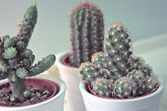 Cute little cactus with white. Stuff Royalty Free Stock Photography