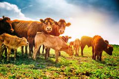 Cute little calfs grazing with cows stock images