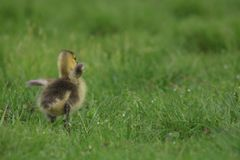 Little Fluffy Canada Goose Gosling in a Flap Stock Photos